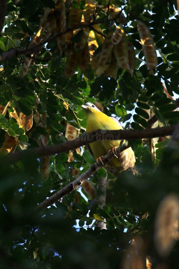 Palomas verdes footed amarillas fotografía de archivo libre de regalías