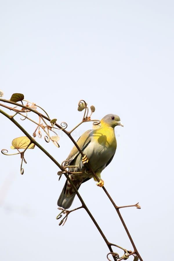 Palomas verdes footed amarillas imágenes de archivo libres de regalías