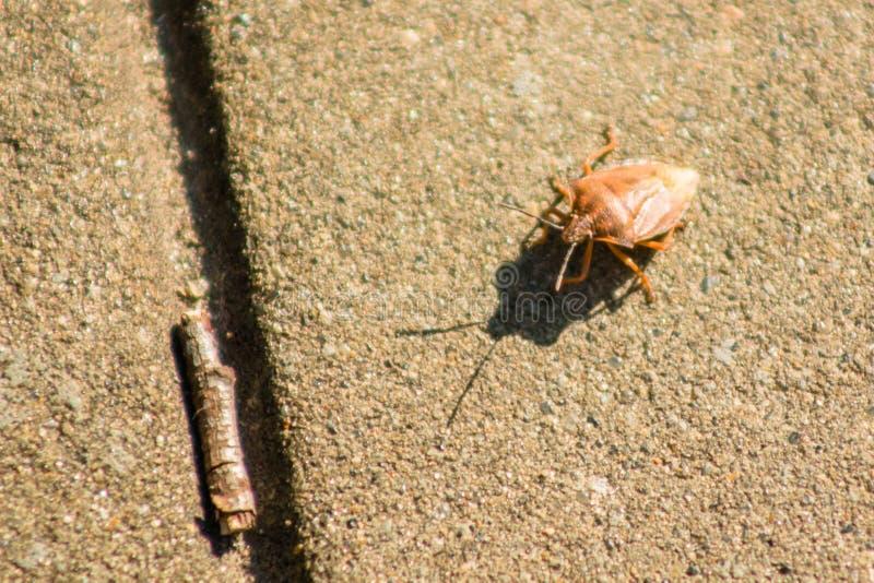 Palomena prasina green wood bug creeps over the tile macro.  royalty free stock photos