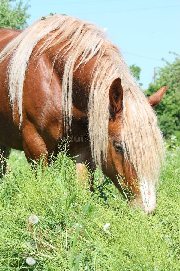 Palomino łyknięcia konia łasowania trawa obraz royalty free