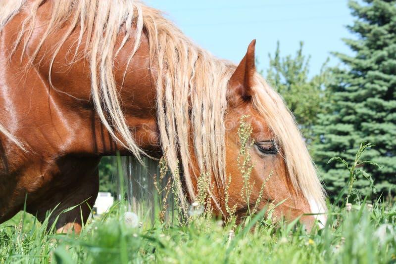 Palomino łyknięcia konia łasowania trawa zdjęcia stock