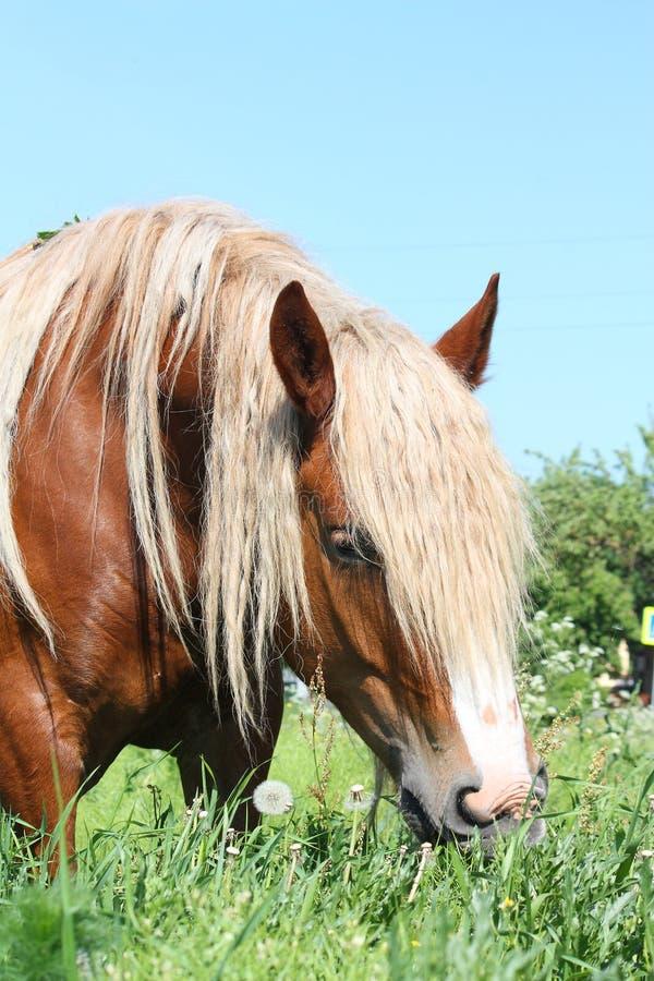 Palomino łyknięcia konia łasowania trawa obrazy royalty free