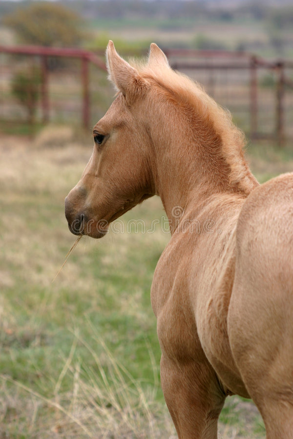 Download Palomino Colt stock photo. Image of shoulder, watchful - 645602