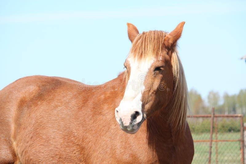 Download Palomino Draght Horse Portrait Stock Image - Image: 26884929
