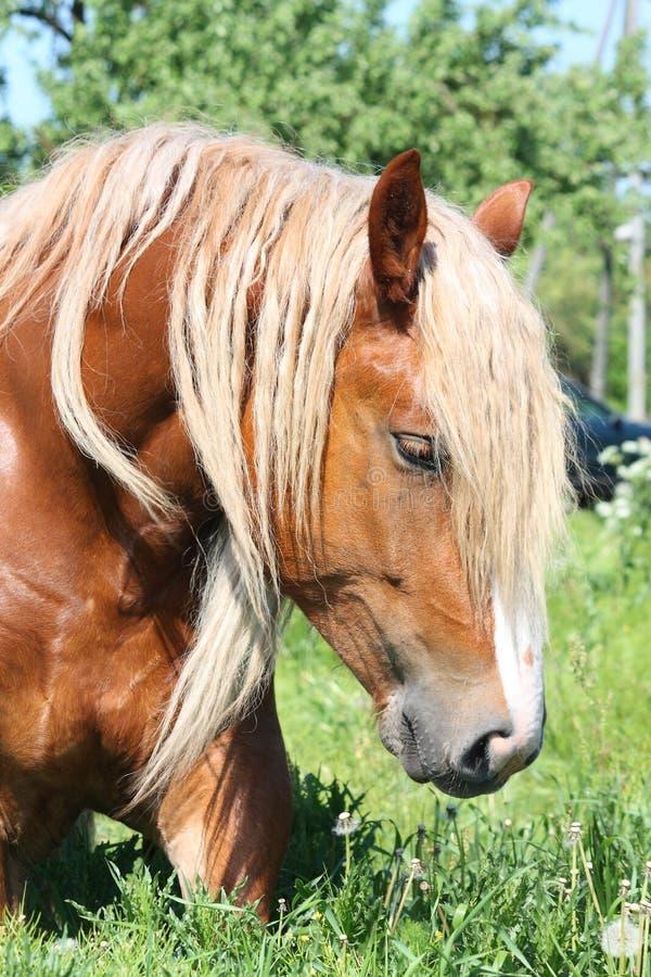 Download Palomino Draught Horse Eating Grass Stock Image - Image: 27864357