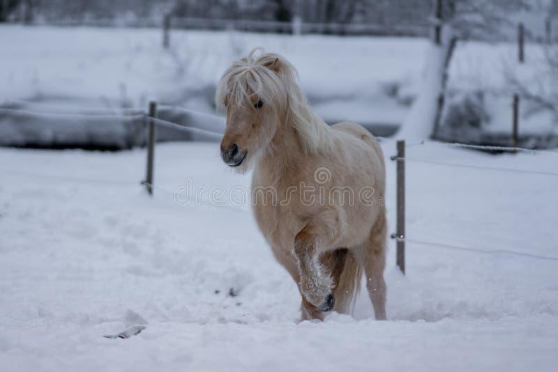 Palomino färbte isländisches Pferd in einfrierender Winterzeit stockfoto