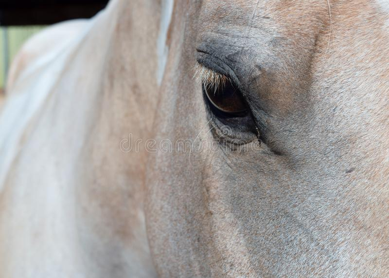 Palomino-Farben-Pferd stockbild
