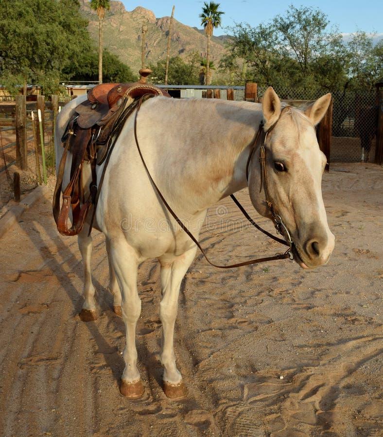 Palomino-Farbenpferd, das einen Western-Sattel trägt stockfoto