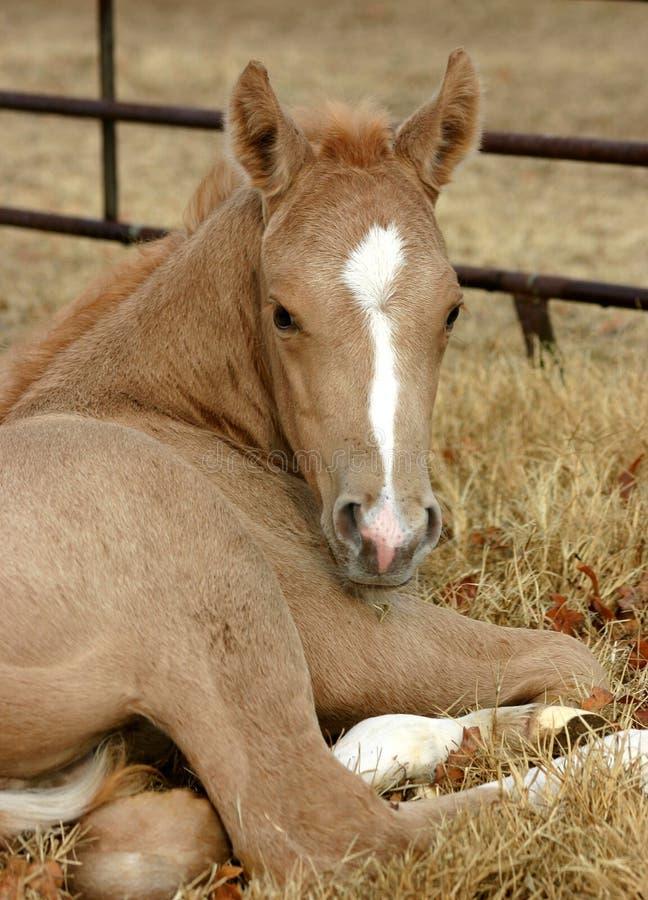 Free Palomino Foal Stock Photography - 535102