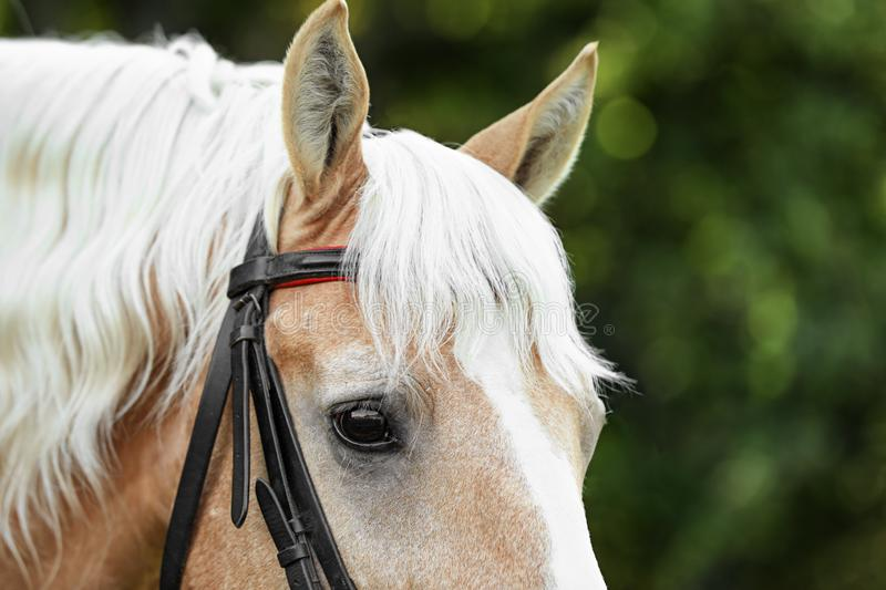 Palomino horse in bridle on blurred background stock images