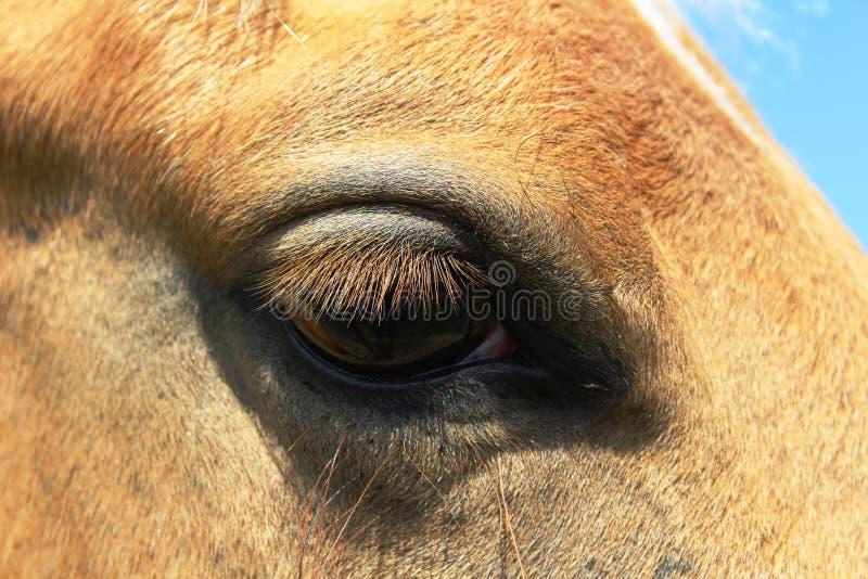 Palomino Horse Eye stock images