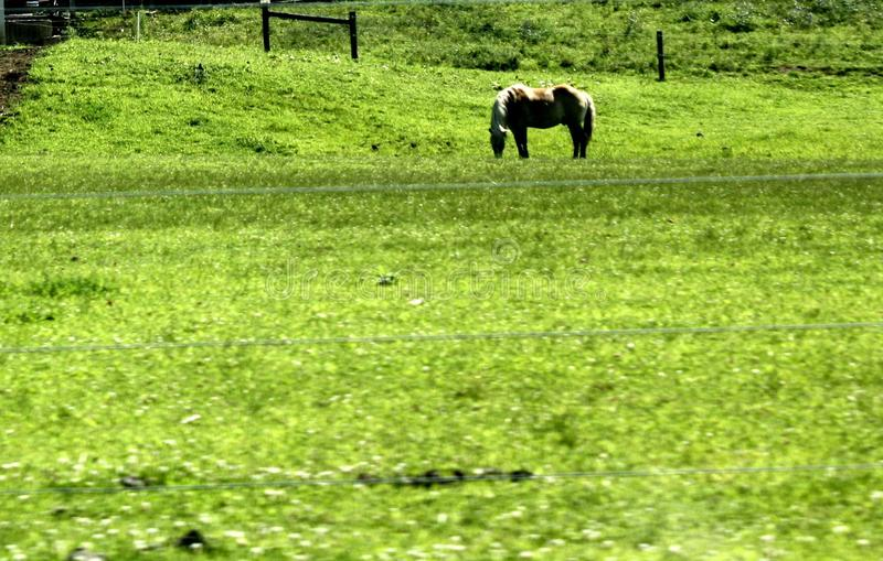 Palomino horse grazing a field in Lancaster County, Pennsylvania royalty free stock image