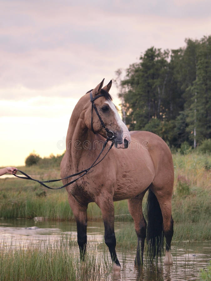 Download Palomino horse on the gulf stock photo. Image of stallion - 17956476
