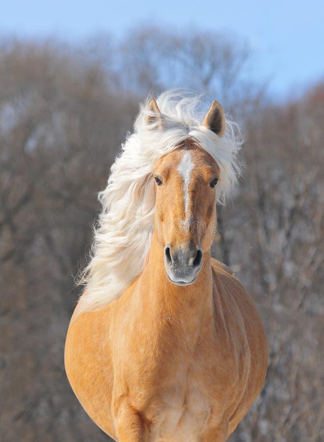 Download Palomino Horse Portrait Stock Photos - Image: 17877653