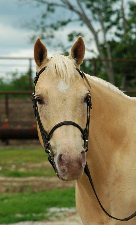 Palomino Horse Portrait Stock Image