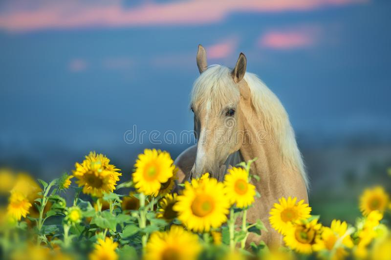 Palomino horse portrait. In sunflowers at sunset royalty free stock photo