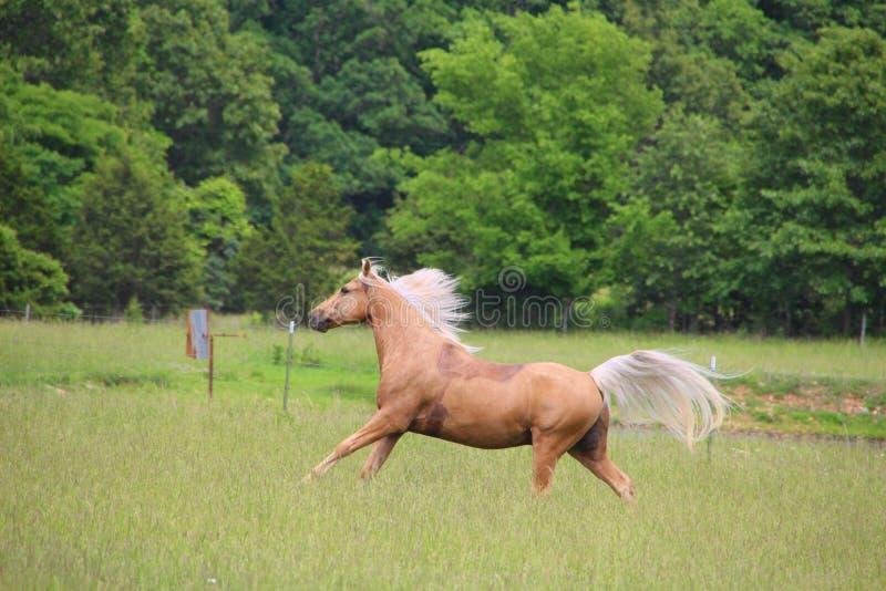 Palomino Horse Running stock photos