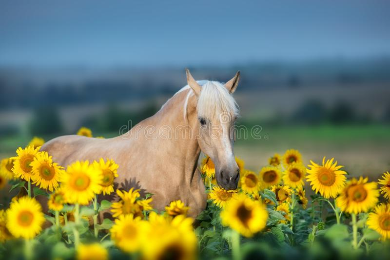 Palomino horse on sunflowers royalty free stock images