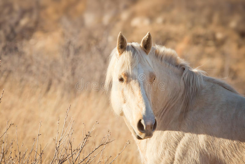 Palomino Horse at Sunset