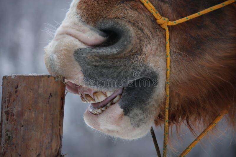 Palomino koń cribbing drewnianego ogrodzenie obraz stock