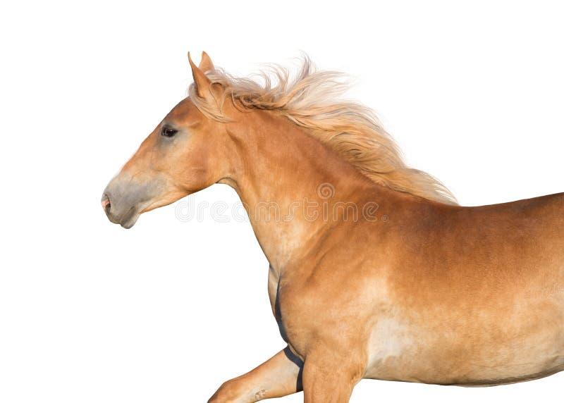 Palomino koń z długą grzywą fotografia royalty free