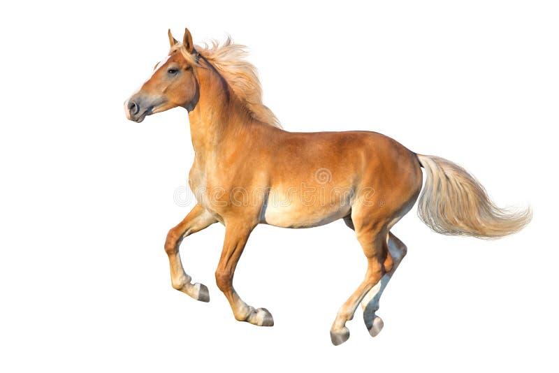Palomino koń z długą grzywą odizolowywającą obrazy royalty free