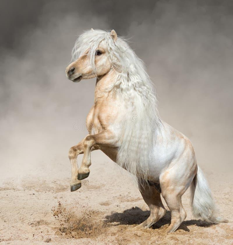 Palomino Miniaturowy koń z długim grzywa wychowem w pyle zdjęcie stock