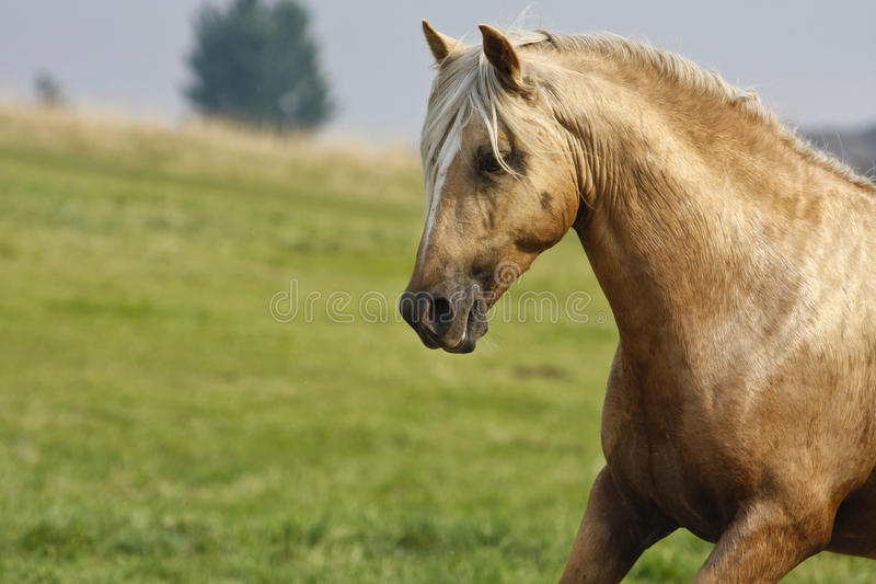Palomino Peruvian Paso Stallion loose in a field royalty free stock photo