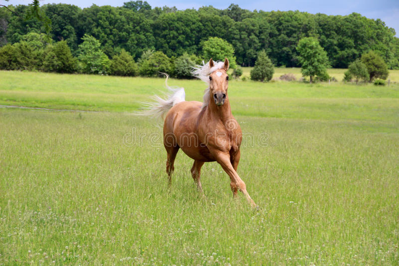 Palomino-Pferdebetrieb lizenzfreie stockfotografie