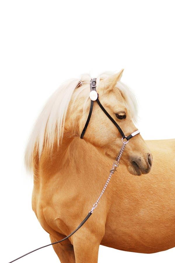 Download Palomino Pony Portrait Isolated Stock Photos - Image: 11770033
