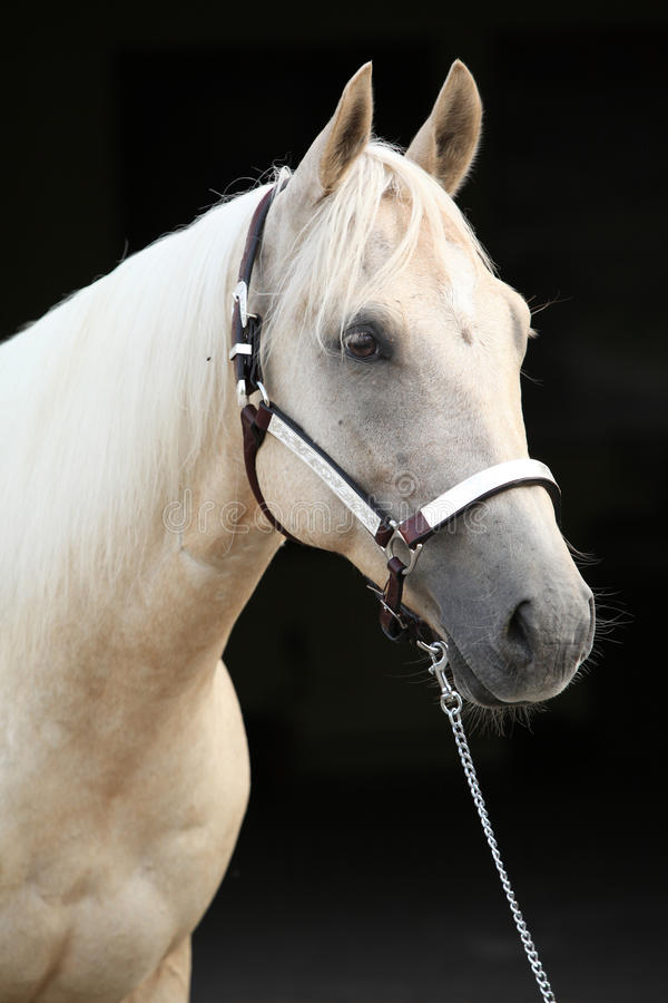 Palomino Quarter Horse In Front Of Dark Background Stock Photos