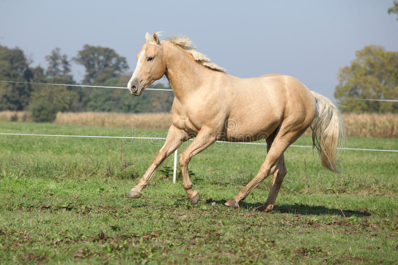 Palomino quarter horse running on pasturage. In autumn royalty free stock photos