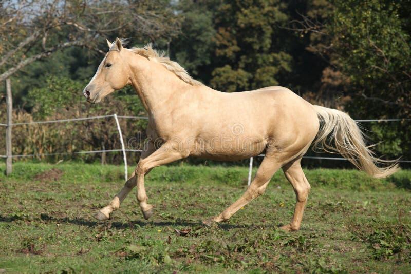 Palomino quarter horse running on pasturage stock photo