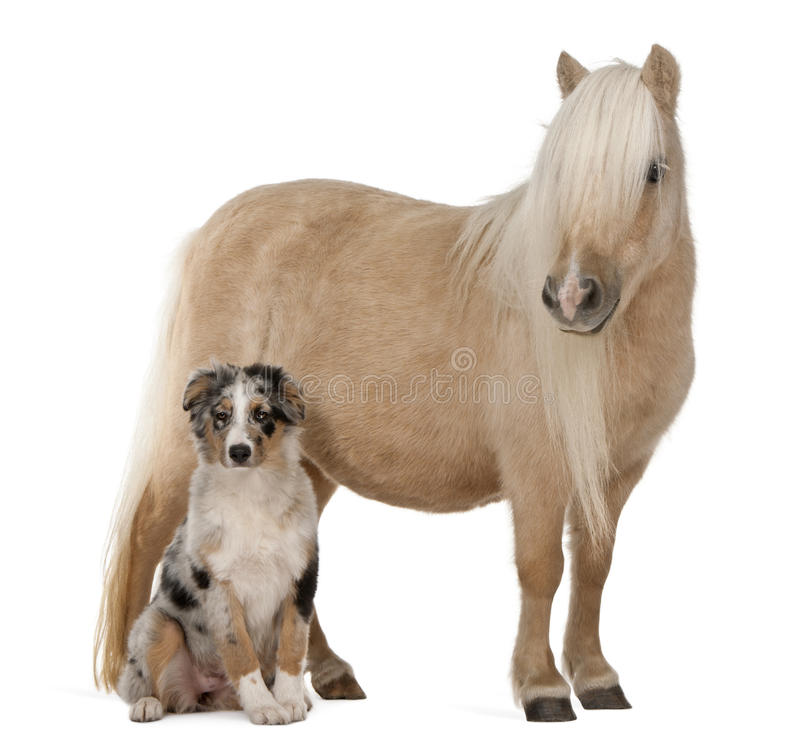 Palomino Shetland pony, Equus caballus stock photo