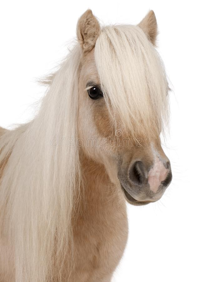 Palomino Shetland pony, Equus caballus, 3 years old stock photos