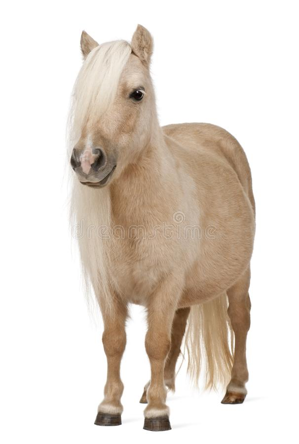 Palomino Shetland pony, Equus caballus, 3 years old stock images