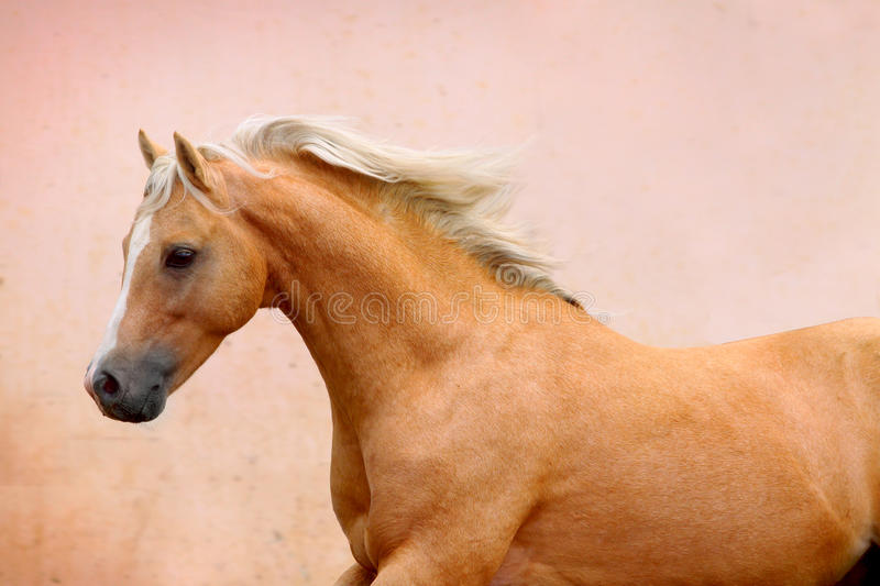 Download Palomino stallion stock photo. Image of moving, fastest - 20518884