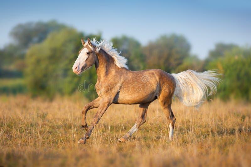 Palomino stallion run fasr stock photo