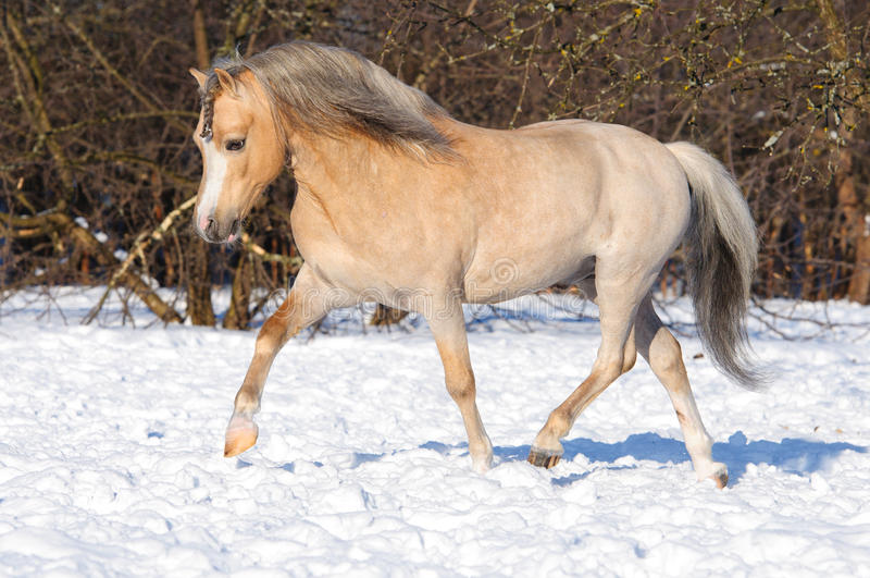 Palomino Welsh Pony Runs Trot On The Snow Stock Photography