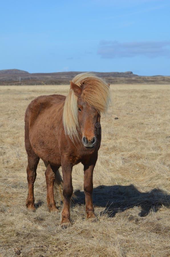 Palominohäst i ett fält royaltyfri fotografi