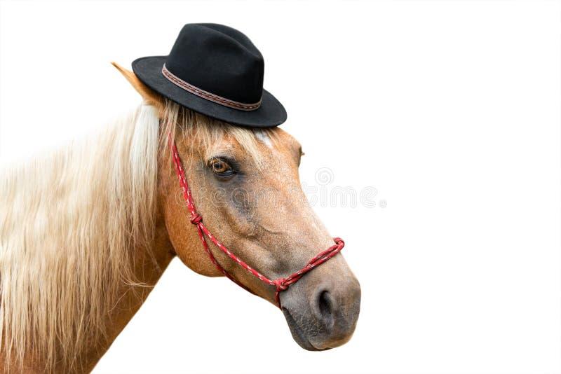 Palominohäst som bär den svarta hatten royaltyfri bild