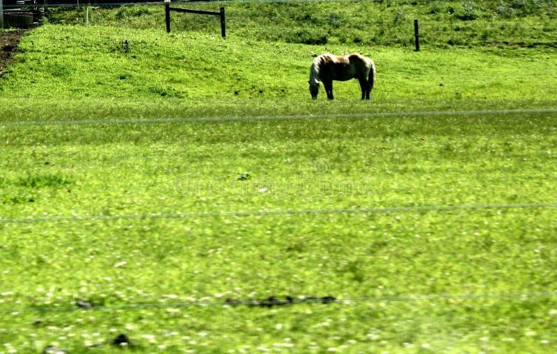 Palominohäst som betar ett fält i Lancaster County, Pennsylvania royaltyfri bild