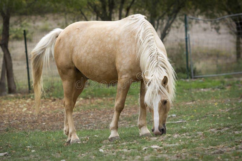Palominohäst som betar i ängen arkivbild