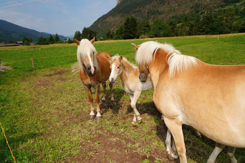 Palominopaard Avelignese Haflinger, een ras van paard ontwikkelde zich in het gebied Zuid- van Tirol portret haflinger paard royalty-vrije stock fotografie