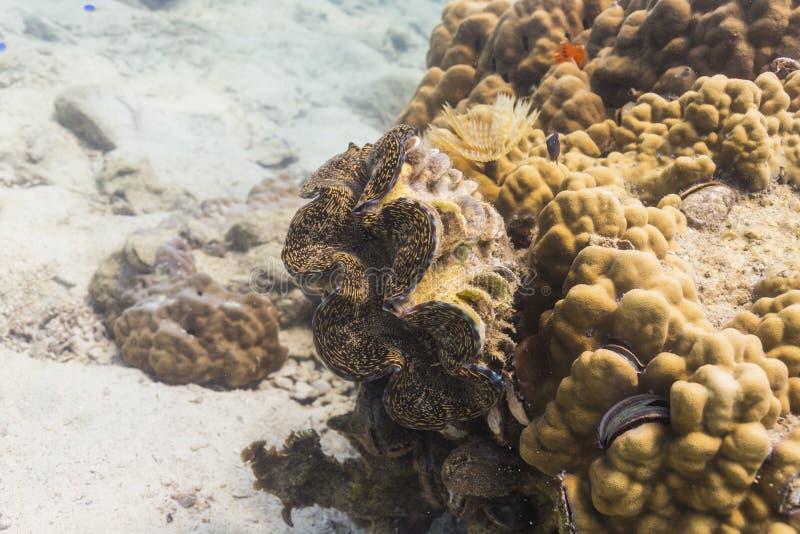 Palourde géante (gigas de Tridacna) photos libres de droits