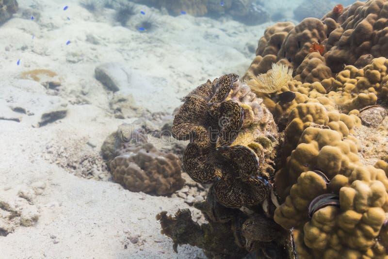 Palourde géante (gigas de Tridacna) photo libre de droits