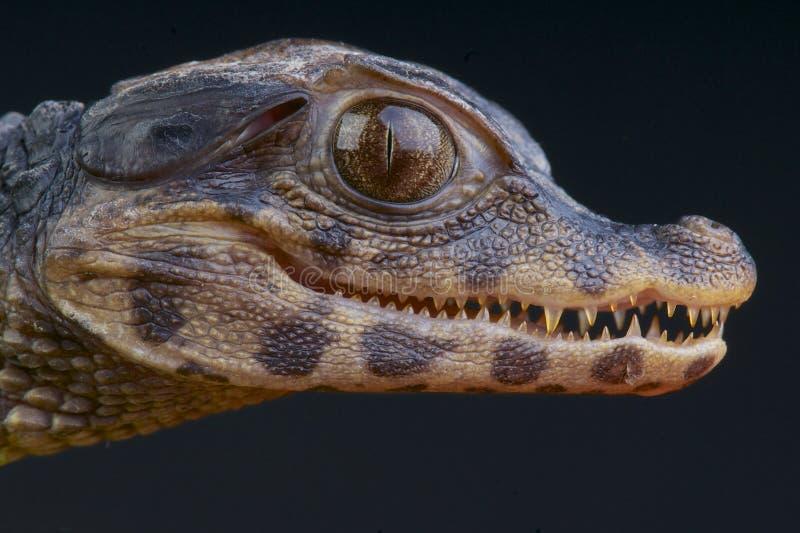 Palpebrosus nano Paleosuchus/del Caiman immagine stock libera da diritti