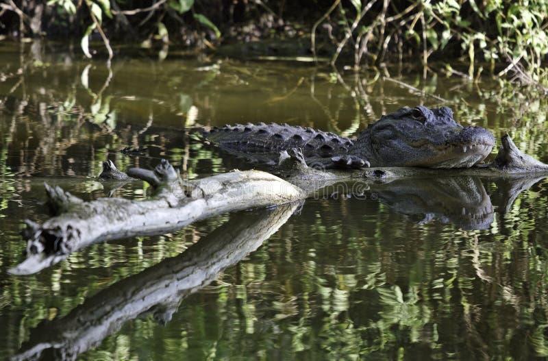 palude del coccodrillo immagini stock