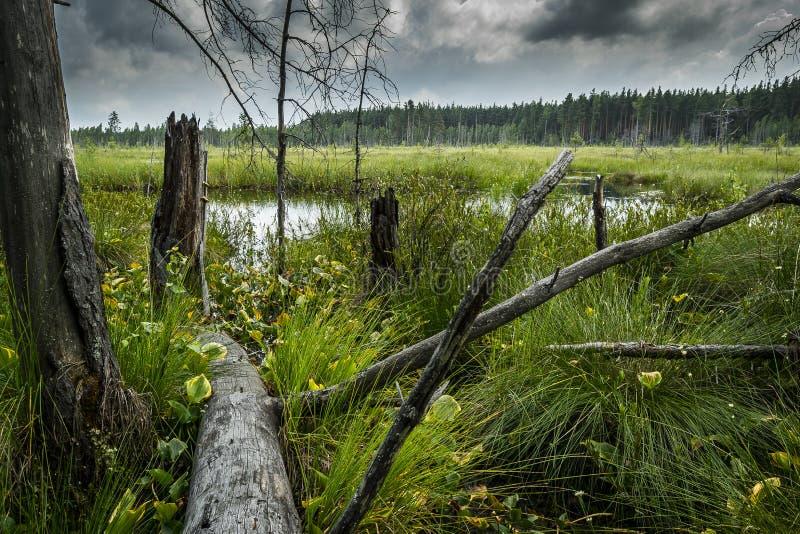 Palude del paesaggio nella foresta, nel panorama paludoso con la vegetazione verde della palude, negli alberi morti e nel cielo t fotografie stock libere da diritti