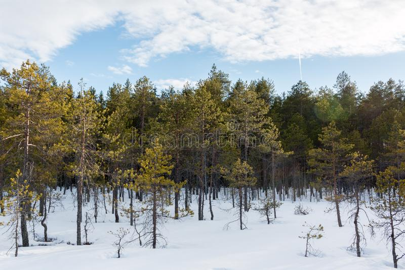 palude del pino dell'Nano-arbusto in primavera fotografia stock